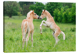 Canvas print  Haflinger foals playing and rearing - Katho Menden