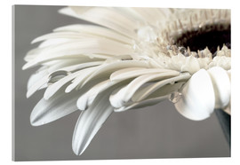 Acrylglas print  White Gerbera with drops - Susanne Herppich