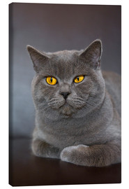 Canvas print  British Shorthair 7 - Heidi Bollich