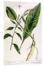 Acrylglas print  Horseradish, plate 415 from 'A Curious Herbal', published 1782 - Elizabeth Blackwell