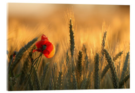 Acrylglas print  poppy in the morning light - Uwe Fuchs