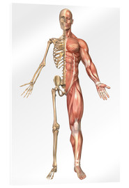Acrylglas print  The human skeleton and muscular system, front view - Stocktrek Images