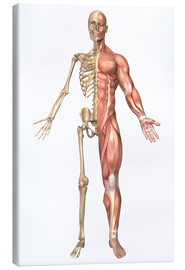 Canvas print  The human skeleton and muscular system, front view