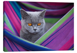Canvas print  British Shorthair 8 - Heidi Bollich