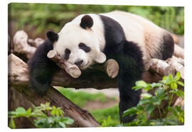 Canvas print  Giant panda sleeping - Jan Christopher Becke