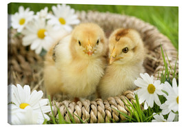 Canvas print  Chicks in a basket - Greg Cuddiford
