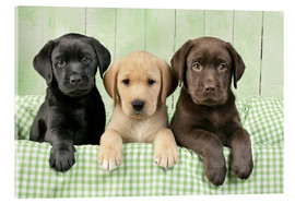 Acrylglas print  Three Labradors - Greg Cuddiford