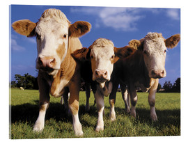 Acrylglas print  Three cows - Greg Cuddiford