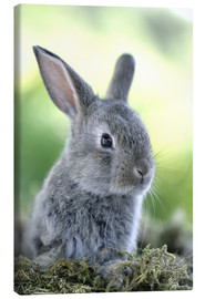 Canvas print  Grey rabbit - Greg Cuddiford