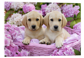 Acrylglas print  Labrador puppies in a basket - Greg Cuddiford