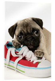 Acrylglas print  Pug pup and shoe - Greg Cuddiford