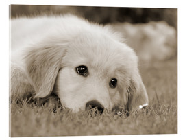 Acrylglas print  Golden Retriever cute puppy, monochrom - Katho Menden