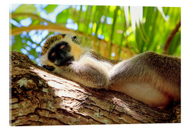 Acrylglas print  Green monkey sleeping, Barbados - Matteo Colombo