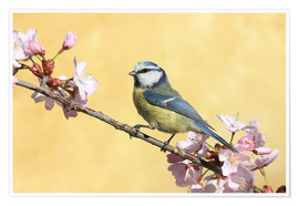Premium poster  Blue tit on a branch of cherry - Uwe Fuchs