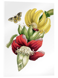 Acrylglas print  Flowering banana and Automeris - Maria Sibylla Merian