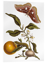 Acrylglas print  Orange and moths - Maria Sibylla Merian