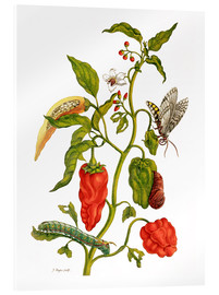 Acrylglas print  Peppers and insects - Maria Sibylla Merian
