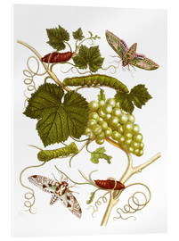 Acrylglas print  Vine and moths - Maria Sibylla Merian
