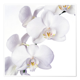 Premium poster  Orchid flowers - Johnny Greig