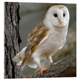 Acrylglas print  Portrait photograph of a Barn Owl - Linda Wright