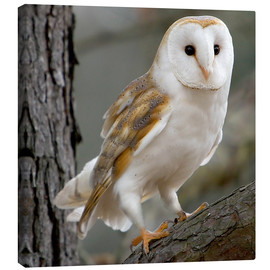 Canvas print  Portrait photograph of a Barn Owl - Linda Wright