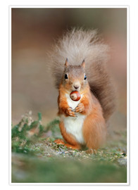 Premium poster Red squirrel eating a hazel nut
