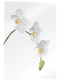 Acrylglas print  Orchid flowers (family Orchidaceae) - GAVIN KINGCOME