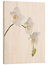 Hout print  Orchid flowers (family Orchidaceae) - GAVIN KINGCOME