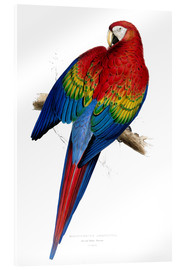 Acrylglas print  Red & Yellow Macaw - Edward Lear