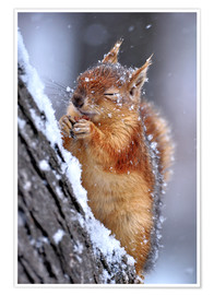 Premium poster  Red squirrel in winter - Ervin Kobakçi