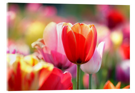 Acrylglas print  Beautiful colorful Tulips - Lichtspielart