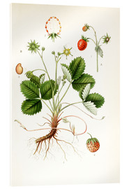Acrylglas print  Strawberry - Carl Axel Magnus Lindman