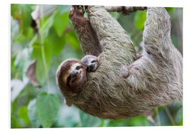 PVC print  Brown-throated sloth baby with mother - Jim Goldstein