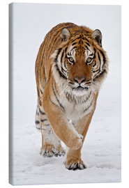Canvas print  Siberian Tiger in the snow - James Hager