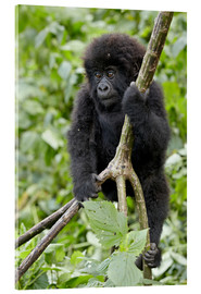Acrylglas print  Infant mountain gorilla (Gorilla gorilla beringei) from the Kwitonda group climbing a vine, Volcanoe - James Hager