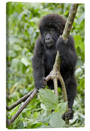 Canvas print  Infant mountain gorilla (Gorilla gorilla beringei) from the Kwitonda group climbing a vine, Volcanoe - James Hager