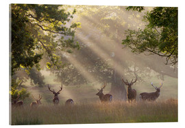 Acrylglas print  Deer in morning mist - Stuart Black