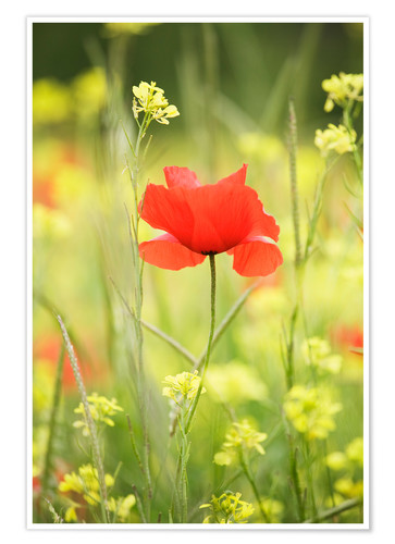 Premium poster Single poppy in a field