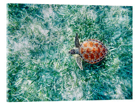 Acrylglas print  Green sea turtle - M. Swiet