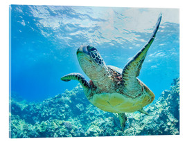Acrylglas print  Green sea turtle off Hawaii - M. Swiet