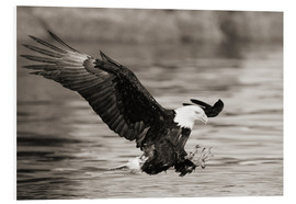 PVC print  Bald Eagle Hunting - John Hyde