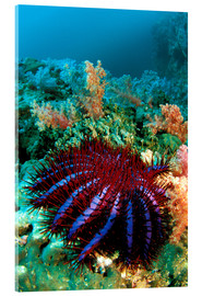Acrylglas print  Crown-of-thorns starfish - Dave Fleetham