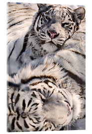 Acrylglas print  White Bengal Tiger - Chad Coombs