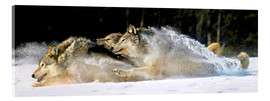 Acrylglas print  A pack of grey wolves in deep snow - John Hyde