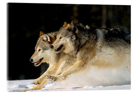 Acrylglas print  Pack Of Grey Wolves Running Through Deep Snow - John Hyde