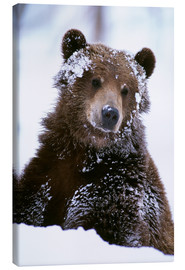 Canvas print  Grizzly in the snow - Doug Lindstrand
