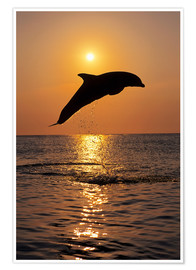 Premium poster Dolphin in the sunset
