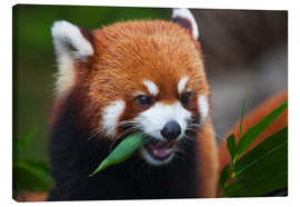 Canvas print  Red Panda - Dave Fleetham