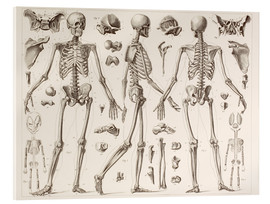 Acrylglas print  Skeleton Of A Fully Grown Human - Wunderkammer Collection