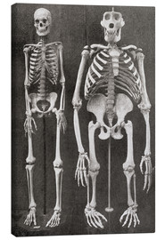 Canvas print  Skeletons Of Man and Gorilla - Ken Welsh